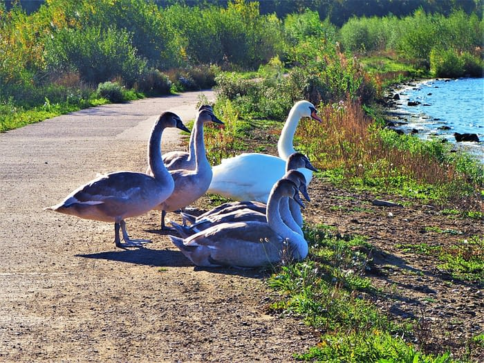 Mute swan and cygnets at St Aidan's Nature Park, Yorkshire, England