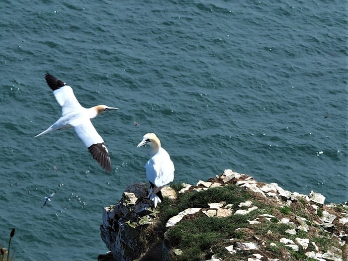 Gannets at Bempton Cliffs, East Yorkshire, England