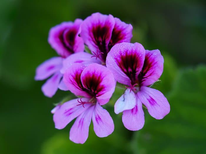 Rose geranium flower (Pelargonium)