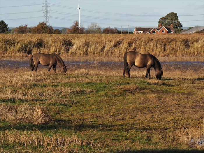 Konik ponies grazing at Blacktoft Sand nature reserve, East Yorkshire, England