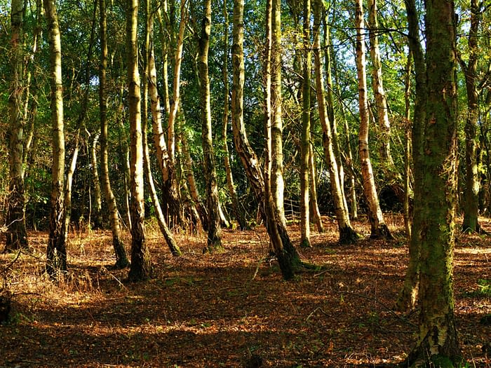 Birch trees in the woods at Barlow Common nature reserve, Yorkshire, England