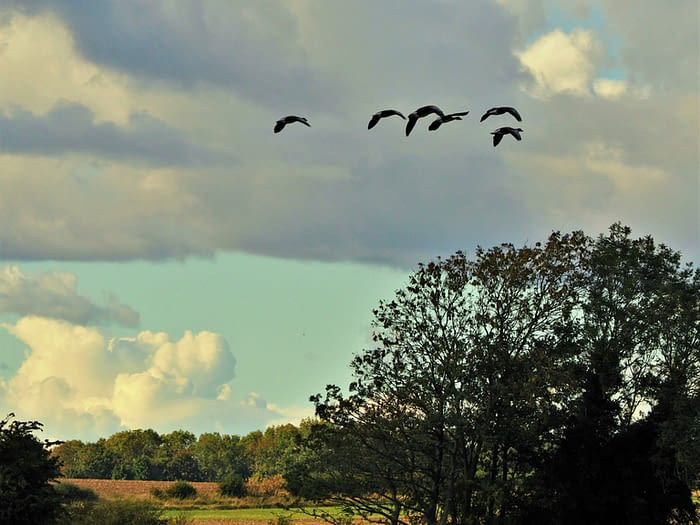 Greylag geese in flight at Staveley Nature Reserve, Yorkshire, England