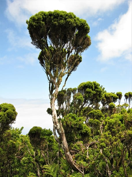 Tree heather, The Azores