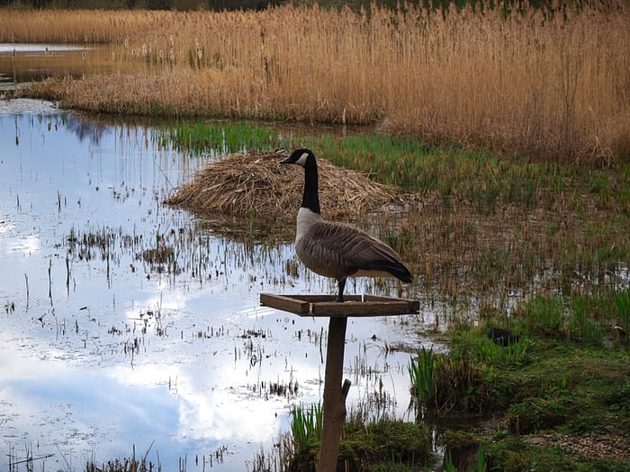 Canada goose (Branta canadensis) on a feeding table