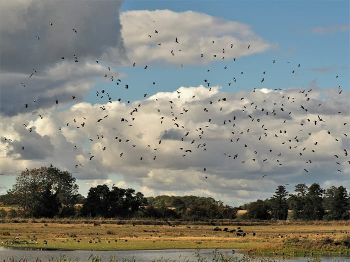Lapwings at Staveley Nature Reserve, North Yorkshire, England