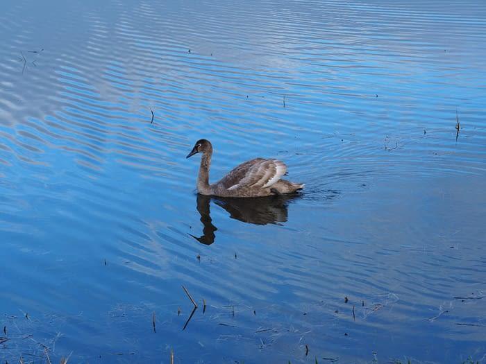 Mute swan cygnet (Cygnus olor