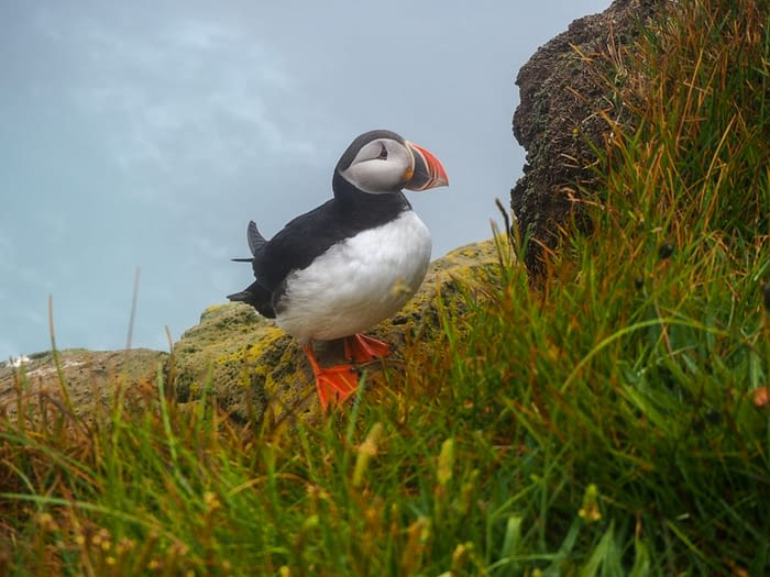 Puffin at Latrabjarg in the Westfjords, Iceland