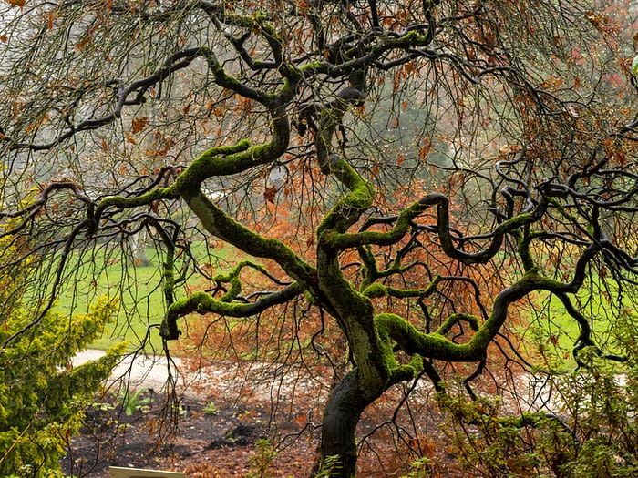 Acer Tree with Twisted Mossy Branches