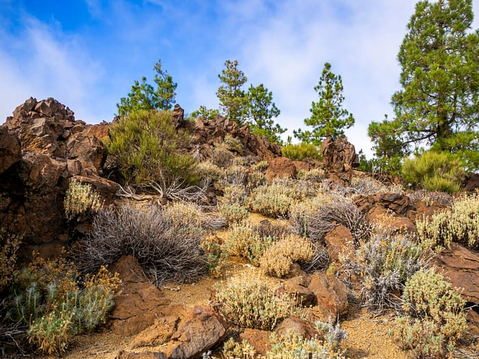 Canarian pine trees at El Portillo, Teide National Park, Tenerife