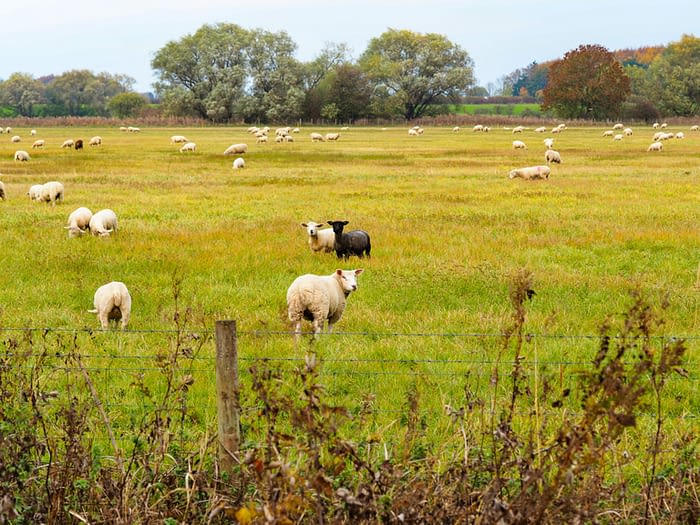 Sheep grazing at Wheldrake Ings nature reserve, North Yorkshire, England