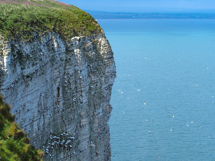 Seabirds nesting on the cliffs at Bempton, East Yorkshire, England