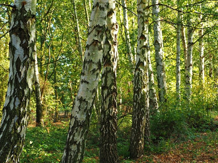 Birch tree trunks at Barlow Common Nature Reserve, Yorkshire, England