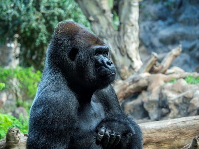 Western Lowland gorilla at Loro Parque, Puerto de la Cruz, Tenerife