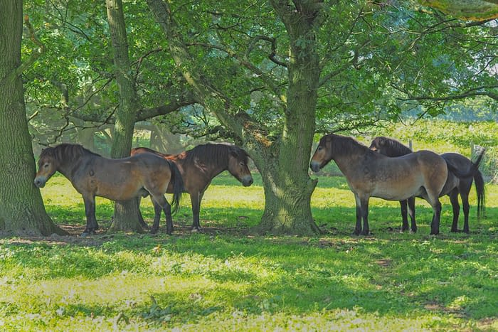 Exmoor ponies on Skipwith Common, North Yorkshire