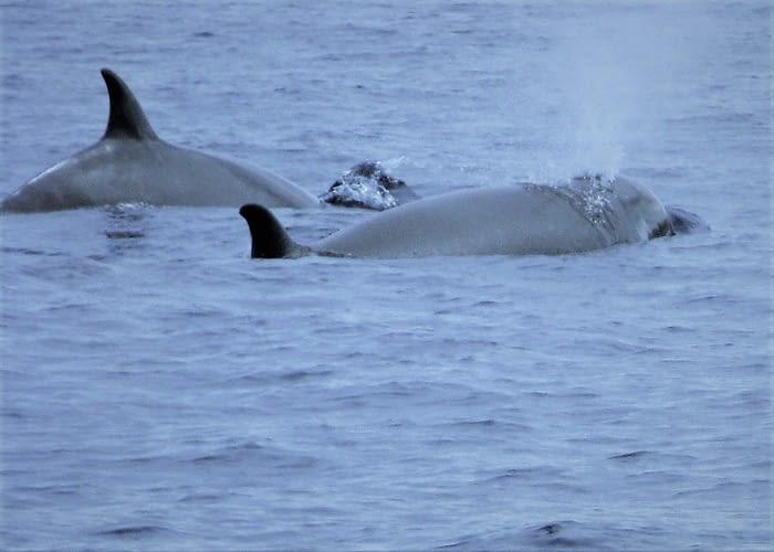 Pilot whales, the Azores