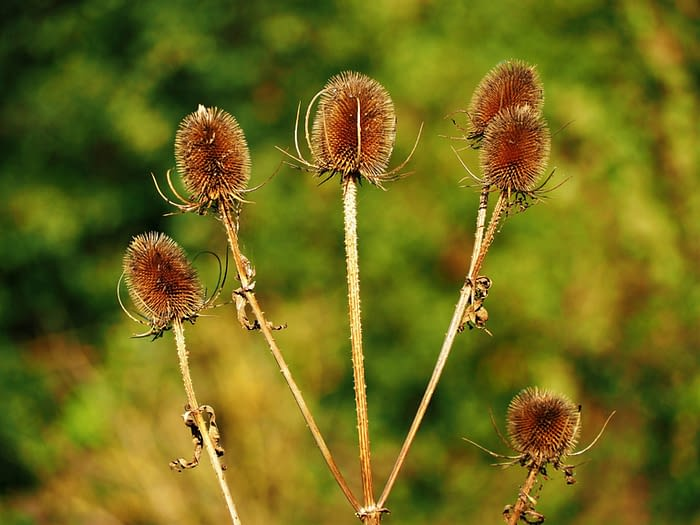 Teasels in autumn