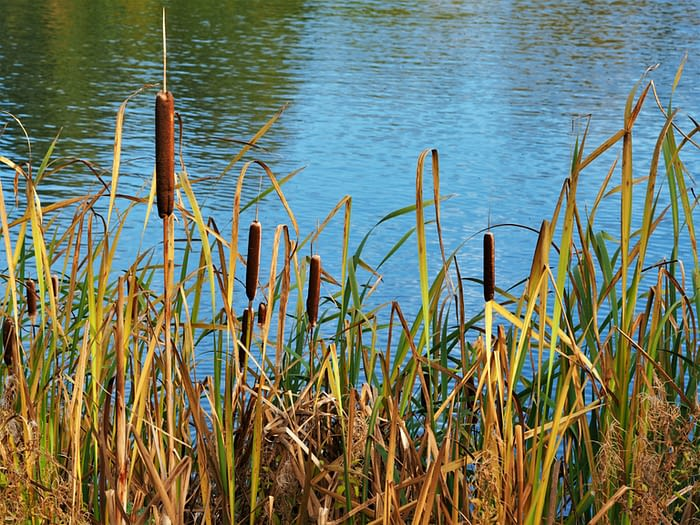 Bulrushes at North Cave Wetlands Nature Reserve, East Yorkshire, England