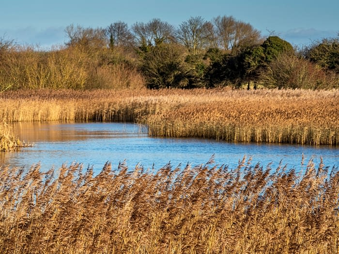 Reed beds at Staveley Nature Reserve, North Yorkshire, England