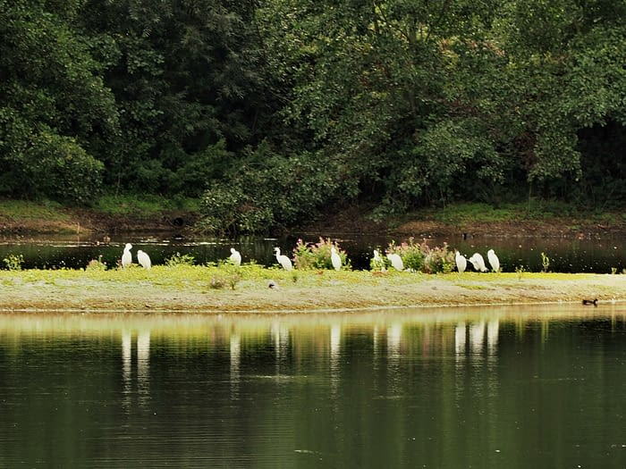 Little egrets at North Cave Wetlands, East Yorkshire, England