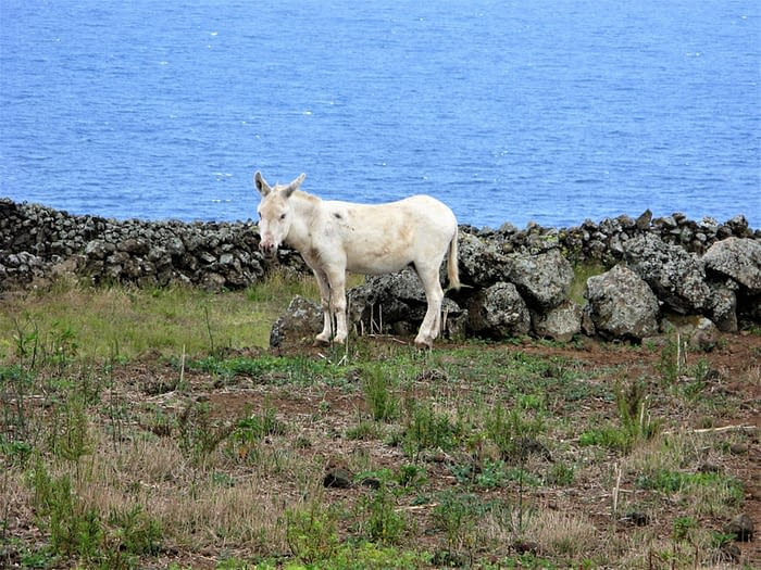 Donkey, Graciosa, The Azores