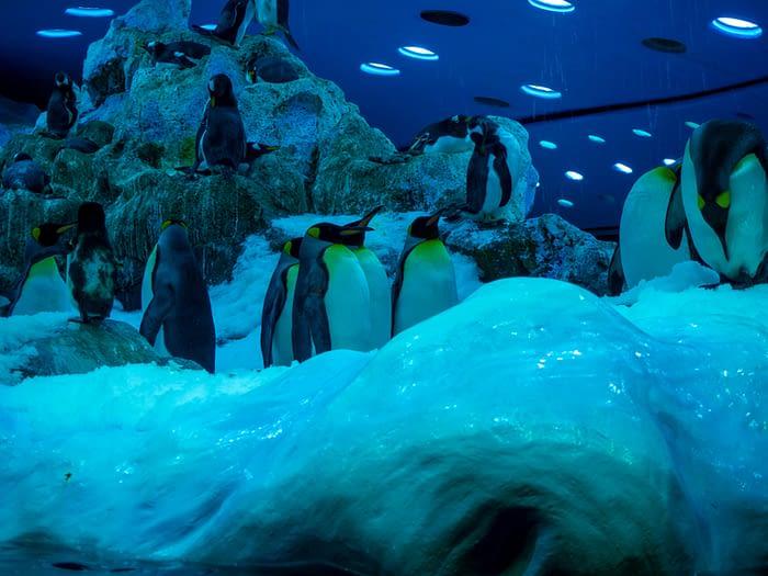 Emperor Penguins at Loro Parque, Puerto de la Cruz, Tenerife